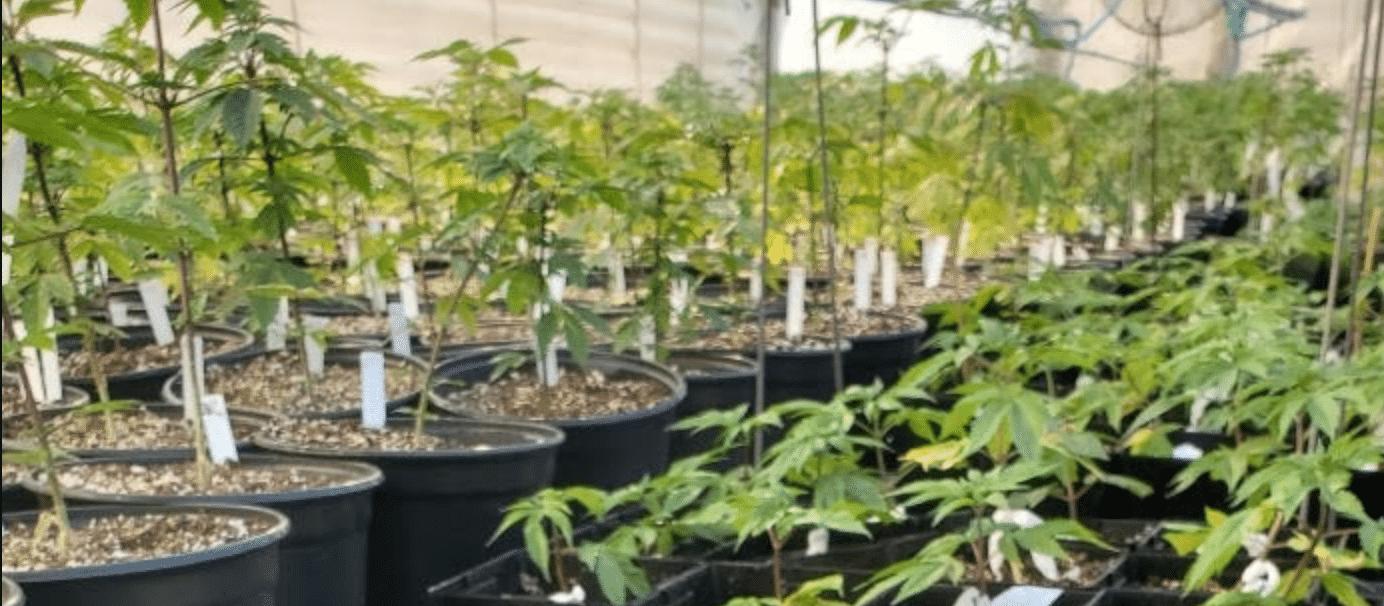 Hemp Plants & Clones for Sale
