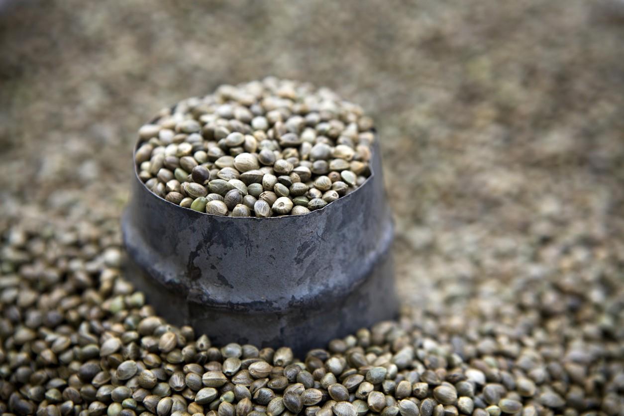 Hemp Seeds for Sale